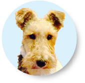 Fox terrier, Mr Hendricks, expert on dog friendly days out in Devon